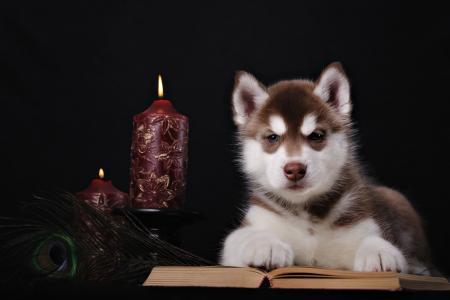 动物,狗,小狗,哈士奇,书,羽毛,蜡烛