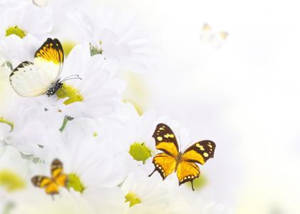 菊花,蝴蝶,昆虫,鲜花
