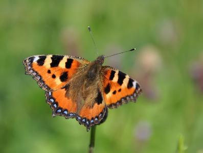 蝴蝶,昆虫,宏,夏天,翅膀