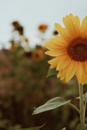 漂亮向日葵图片