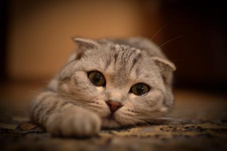 小胡子,谎言,眼睛,猫,看,拉伸,猫