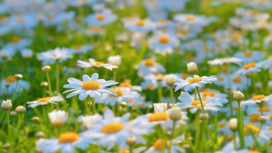 白色的雏菊