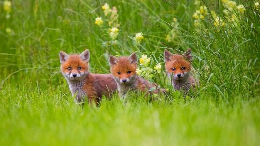 幼仔,狐狸,草,森林