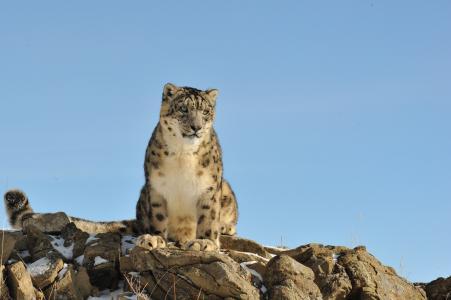 雪豹,雪豹,猫,石头,性质