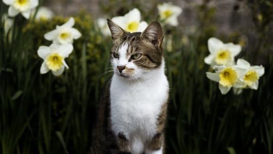 动物,猫,猫,鲜花,水仙,春天