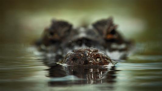 鳄鱼,捕食者,性质,宏
