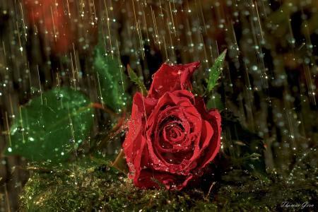 花,玫瑰,滴,雨