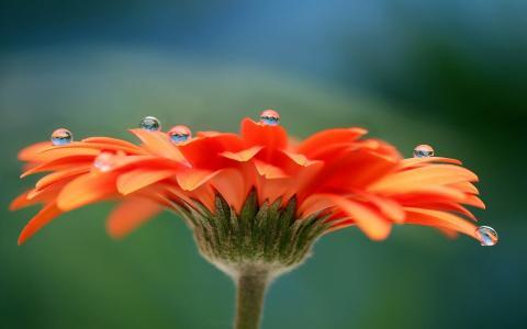 非洲菊,花,花瓣,露水