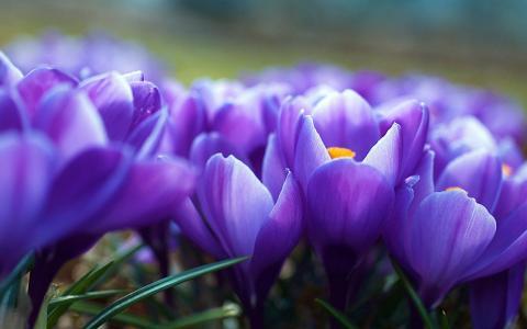 模糊,番红花,鲜花,紫色,春天