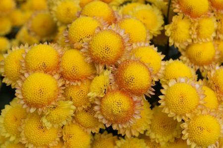 菊花,黄色,克里米亚,Nikitsky植物园