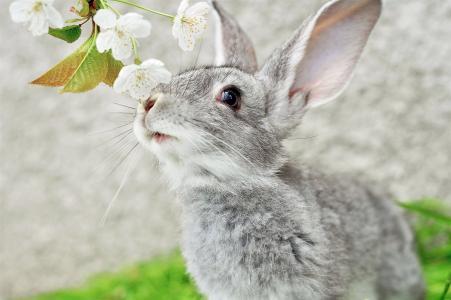 兔子,苹果树,颜色