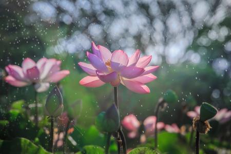 性质,鲜花,莲花,芽,雨,散景