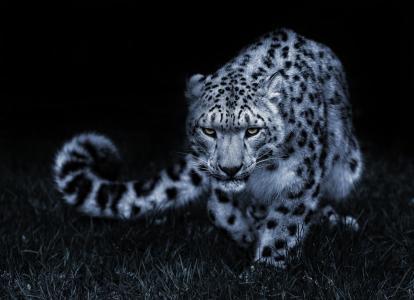 雪豹,性质,捕食者,猫