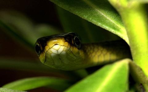 叶子,蛇,眼睛,背景,宏