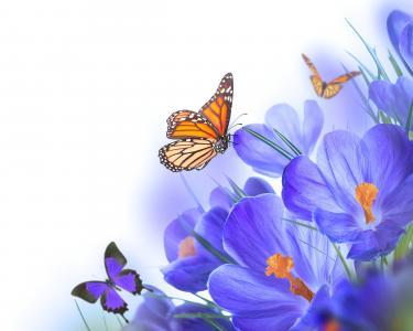 番红花,蝴蝶,浅色背景,photoshop