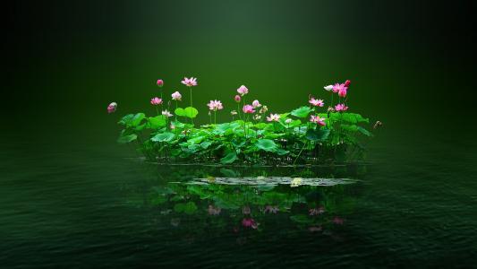 池塘,莲花,花朵,粉红色,水,花瓣,叶子,绿色