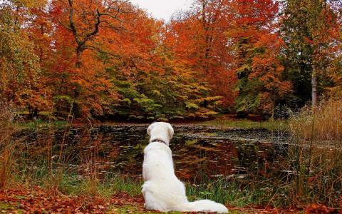 秋天,狗,叶子,森林