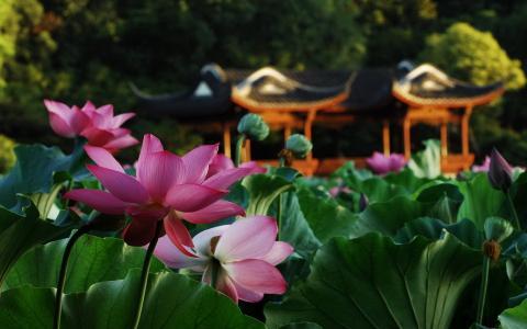 莲花,池塘,叶子,宏,鲜花