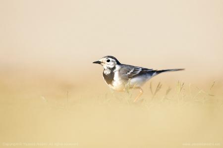 鸟,背景,阴霾,极简主义。
