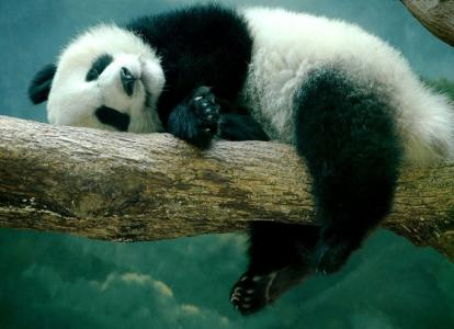 树,动物,熊猫,熊,自然