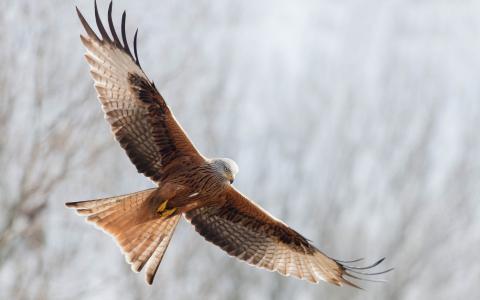 红风筝,飞行,鸟,自由