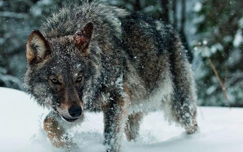 狼,冬天,雪