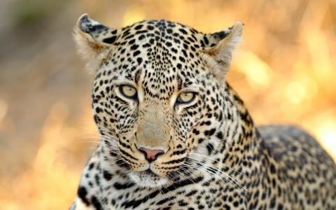 豹,友好的外观,捕食者