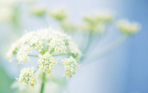 植物,草药,蓝色