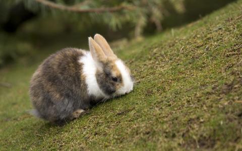 兔子,草坪