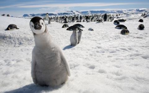 好奇心,企鹅,雪,看