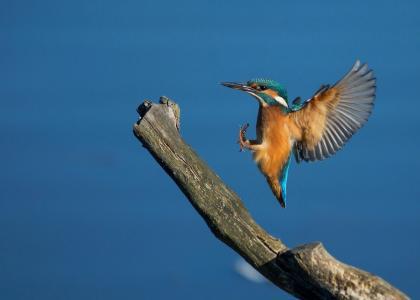 翠鸟,飞行,鸟,美女,世界鸟类