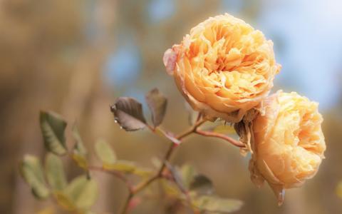 玫瑰,玫瑰,花朵,花瓣,芽,宏,橙,桃,色,光,嫩度,加工