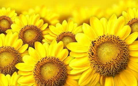 向日葵,黄色,特写镜头