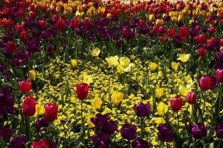 郁金香,紫罗兰,鲜花