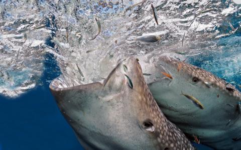 照片,水下,鲸鲨,狩猎