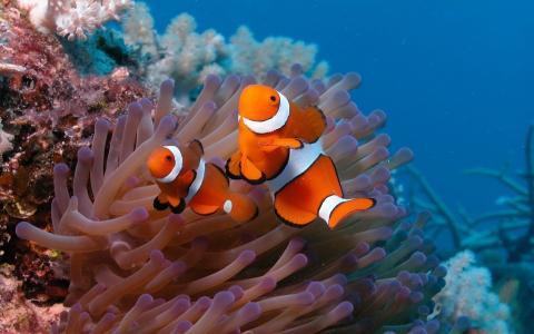 小丑鱼,底部,两个,海洋,鱼