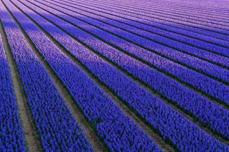 田地,风信子,蓝色,丁香,鲜花