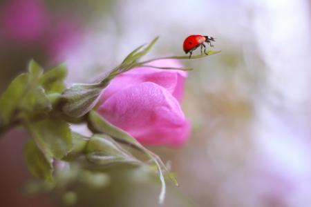 宏,花,玫瑰,芽,瓢虫