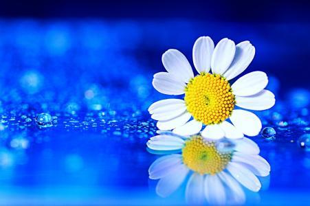宏,花,洋甘菊,滴,水