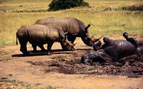犀牛,灰色的皮肤,泥土