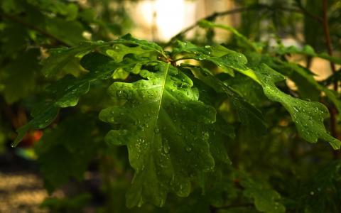 树,性质,滴,分支机构,橡树,叶子,森林,橡树,一天