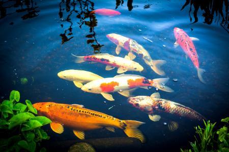 池塘,水,鲤鱼,鱼,美丽