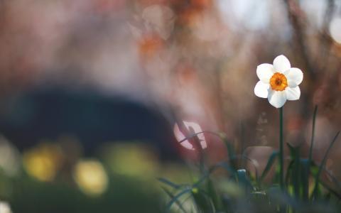 水仙,花,宏,白,草,绿色