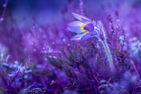 花,宏观照片主题,紫罗兰色
