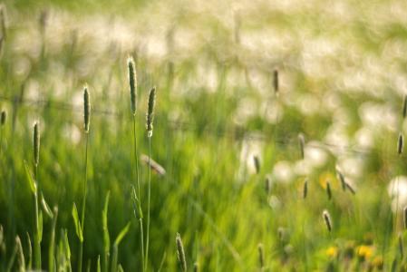 眩光,散景,小穗,宏,草