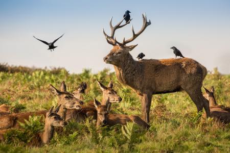 鸟,乌鸦,鹿,家庭,角,鹿