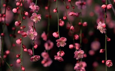 樱花,粉红色,鲜花