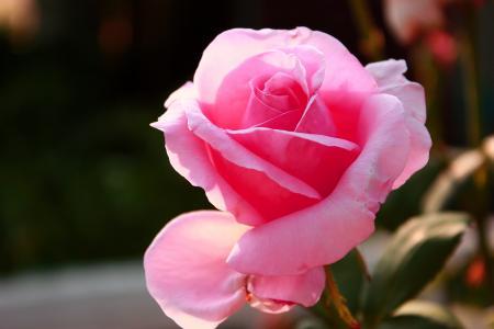 玫瑰,粉红色,花