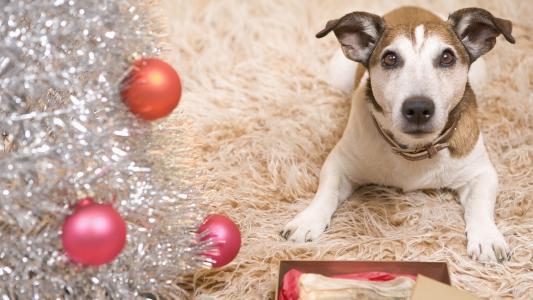 狗,雨,球,地毯,新的一年