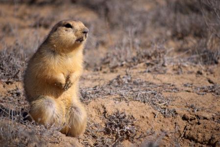 沙,地鼠,长相,小,坐,动物